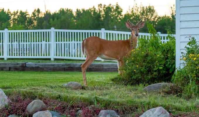 deer in backyard gettyimages 680x 402